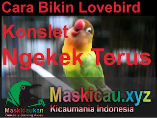 Cara Bikin Lovebird Konslet Ngekek Terus