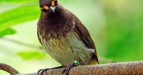 Image Result For Cara Merawat Love Bird Agar Cepat Gacor
