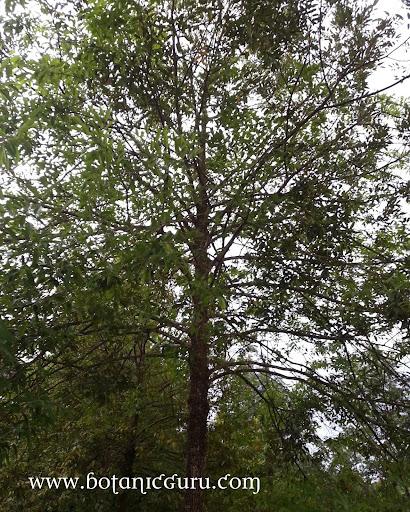 Shorea roxburghii, White Meranti, Sweet Shorea tree