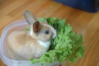 thit thỏ