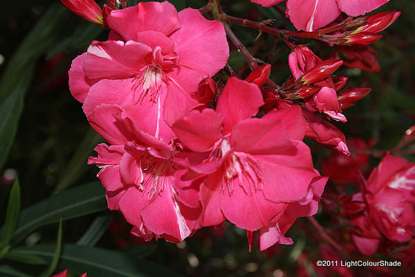 Oleander flowers close-up