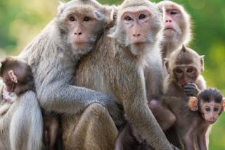 बंदरों का एक झुंड