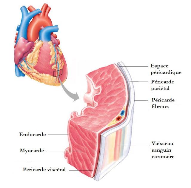 Anatomie de cœur