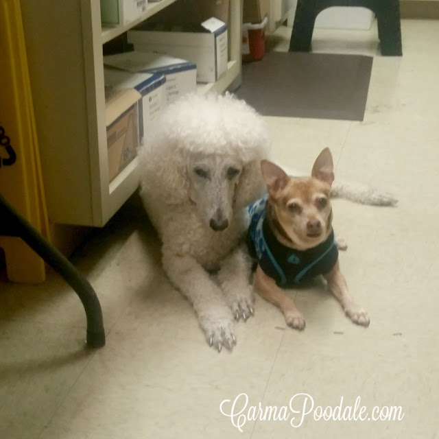 #CarmaPoodale, poodle waiting with Scooby, chihuahua at vets office