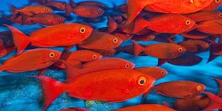Resultado de imagen de los peces rojos