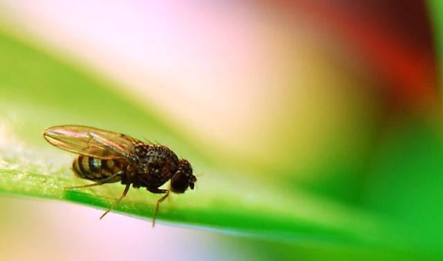 Preocupação com mosca da fruta pós-greve dos caminhoneiros leva produtores do Vale a discutir medidas emergenciais - Notícias Juazeiro-BA, Petrolina-PE,
