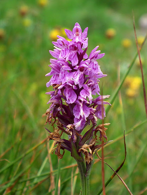 Heath Spotted Orchid / Orchis tacheté. Photographed by Susan from Loire Valley Time Travel. https://tourtheloire.com