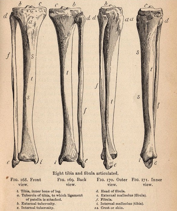 Right tibia and fibula articulated.