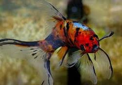 Jenis Ikan Koki Komet
