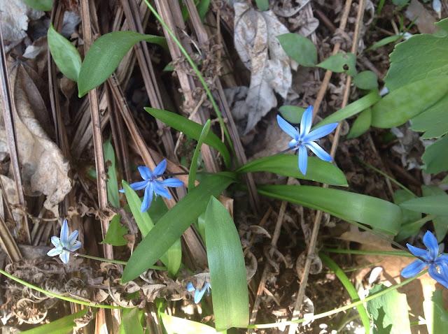 Scilla - harbinger of spring
