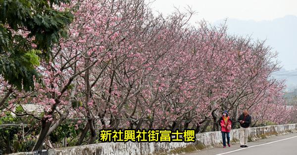 台中新社|2019新社興社街大排富士櫻|新社賞櫻秘境|3/14花況