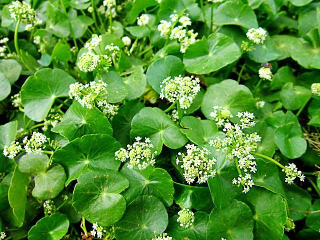 Lá và hoa Rau Má - Centella asiatica - Nguyên liệu làm thuốc Chữa Cảm Sốt