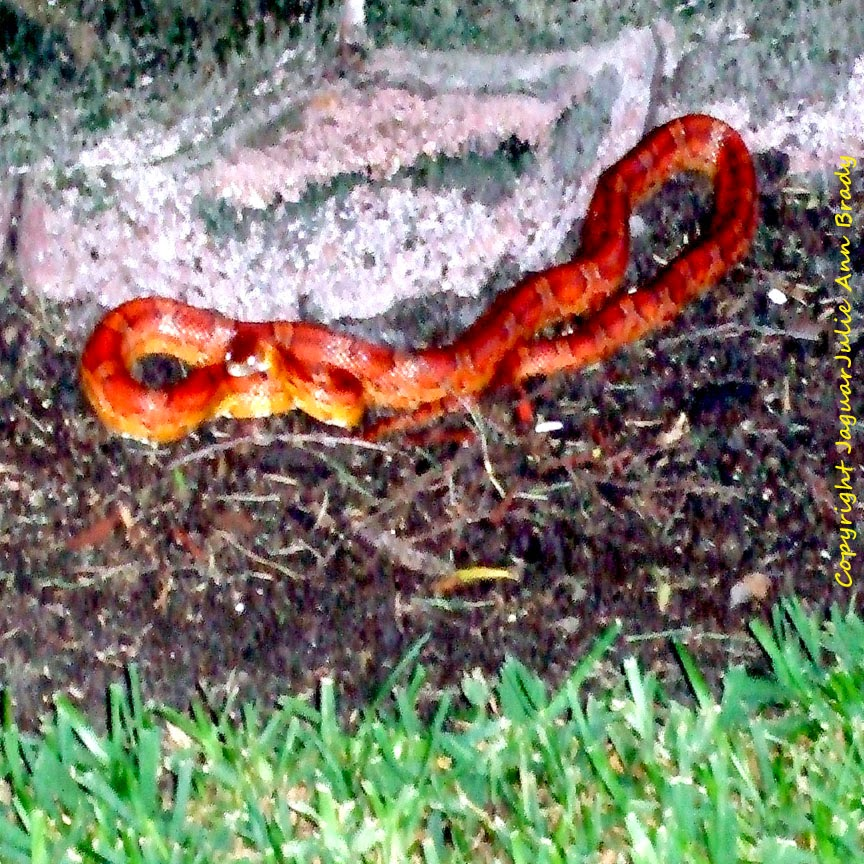 Red Rat Snake Coiled Up in Jacksonville Florida