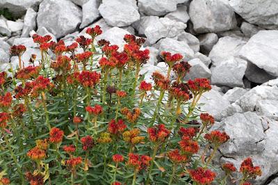 Rhodiola rosea – Rose Root (Rodiola rosea)