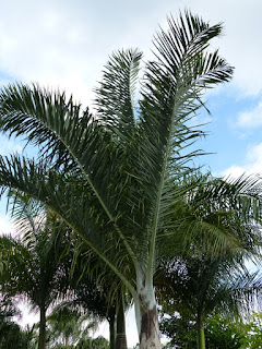 Dypsis pembana - Palmier de Pemba