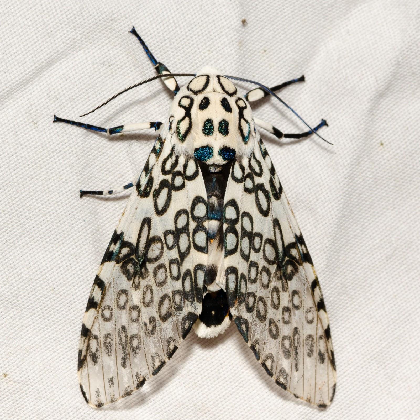 Giant Leopard Moth (Hypercompe scribonia) Ohio
