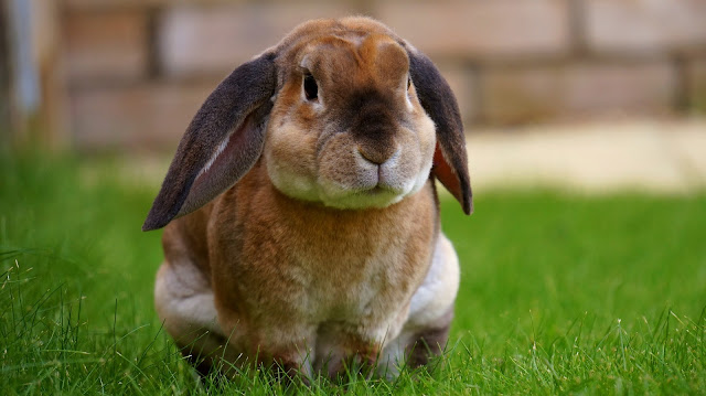 Rabbit Resting on Green Grasses