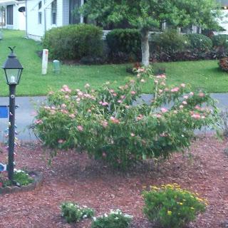 Calliandra surinamensis pink powder puff plant