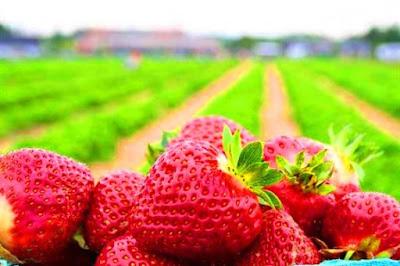 Ladang strawberry cameron higland brinchang