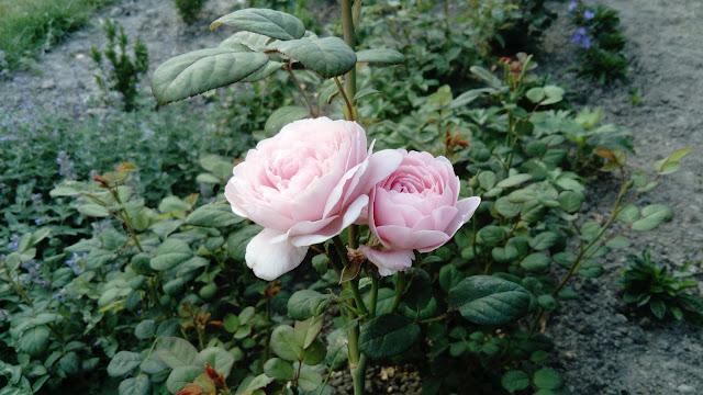 https://synergiaprzyjemnosci.blogspot.com/2018/11/jej-krolewska-mosc-roza.html
