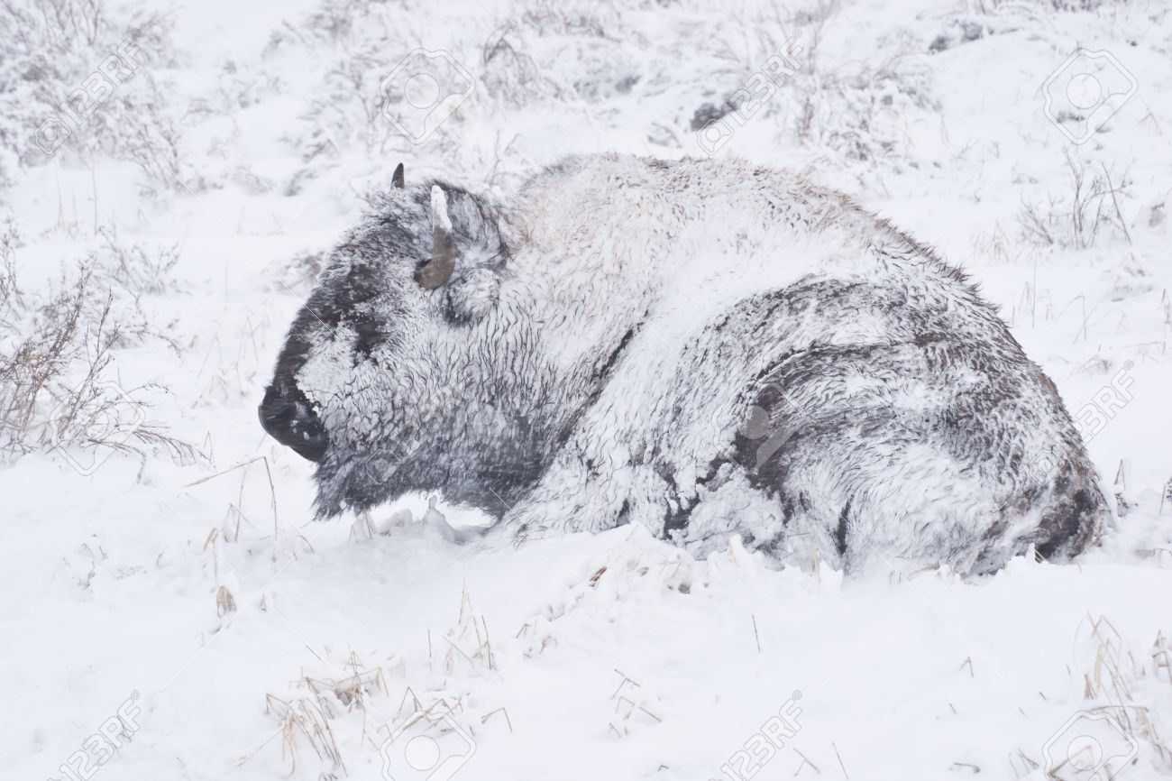 Persona Non Grata: Annual Bison Slaughter May Kill 900 Buffalo