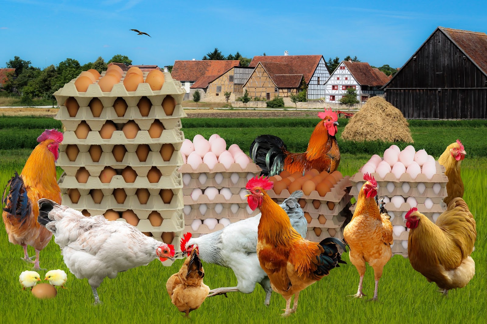 Picture of chickens and eggs.