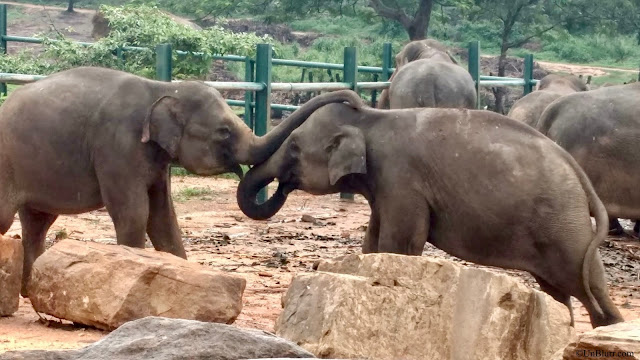 Baby elephants playing with each other!