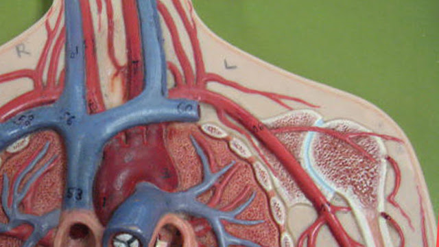 Científicos descubren en seres vivos una red de vasos sanguíneos hasta ahora desconocida