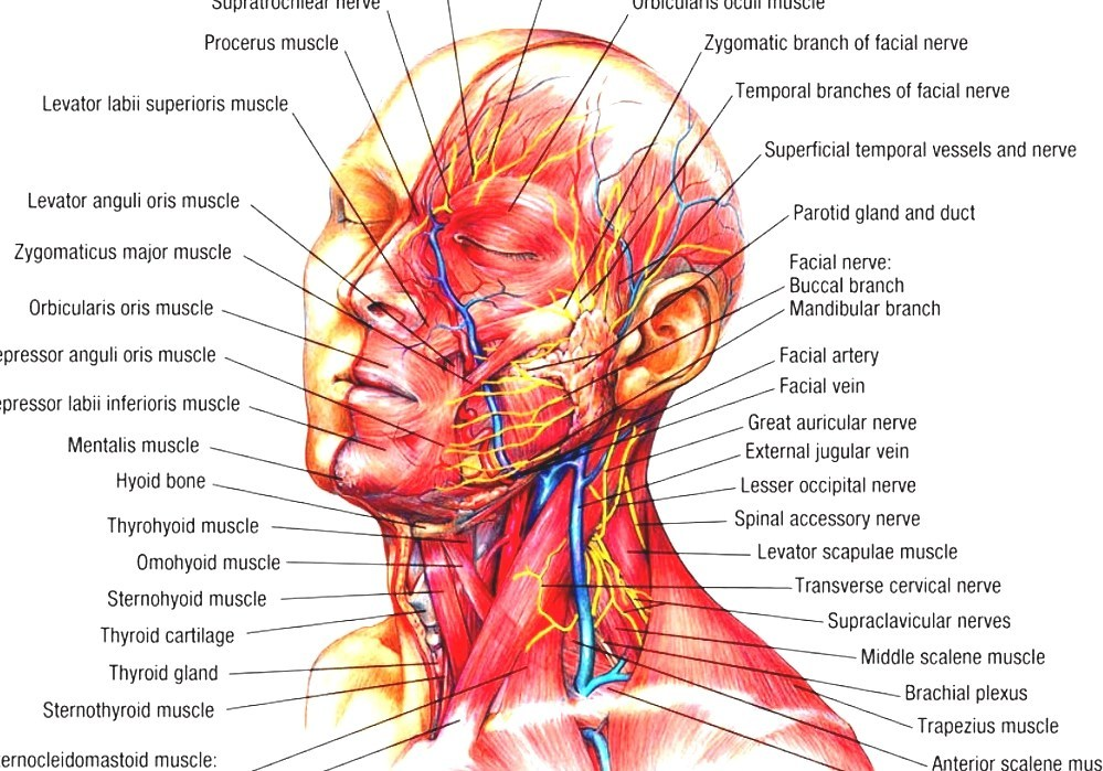 head and neck anatomy human anatomy head. Black Bedroom Furniture Sets. Home Design Ideas