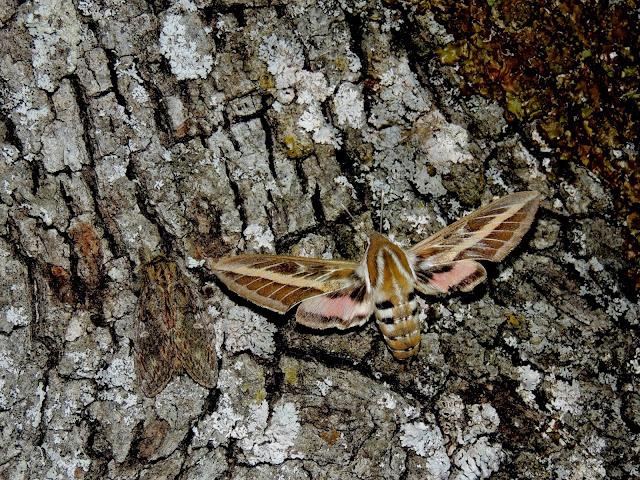 Hyles livornica & Peridea anceps