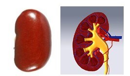 Beans are linked with Kidney