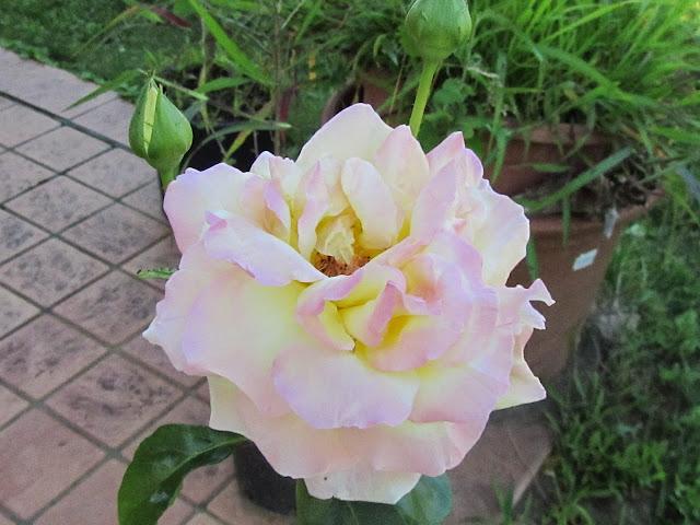 Rosa Gioia