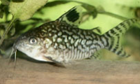 Jenis Ikan Corydoras reticulatus