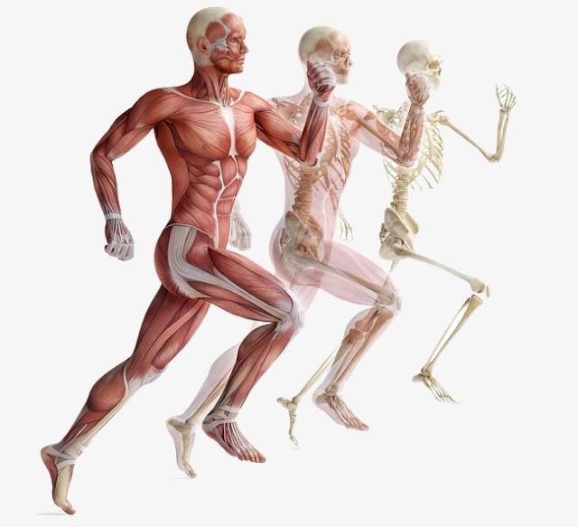 بحث حول جسم الانسان - أهمية الهيكل العظمي مكوّنات الهيكل العظمي