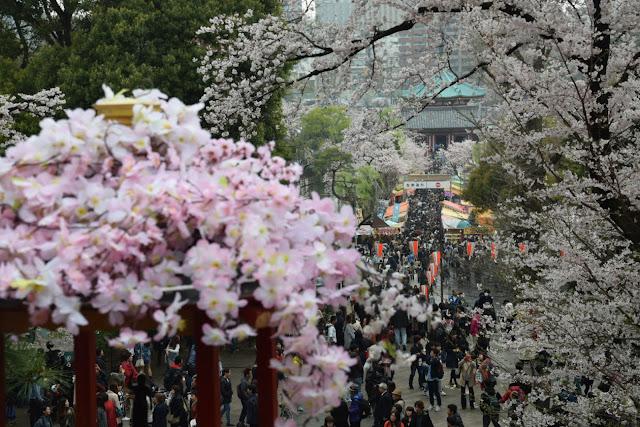 Giappone e la fioritura dei ciliegi
