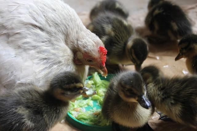 Cochin Pekin Bantam hatching ducklings