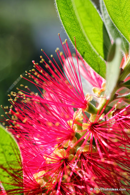Callistemon Citrinus (Crimson Bottlebrush) flower stems closeup