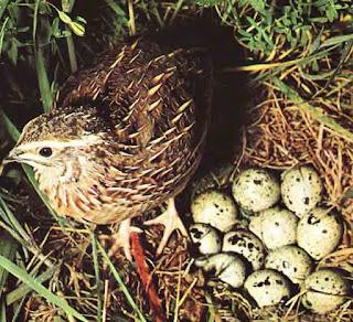 codorniz y sus huevos
