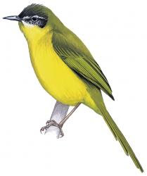 Wedge-tailed Tetraka