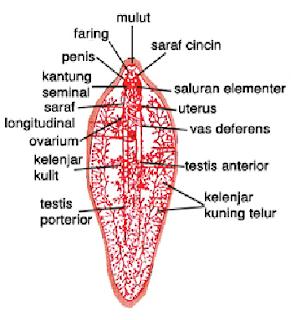 Makrocita és mikrocita vérszegénység - Szívizomgyulladás