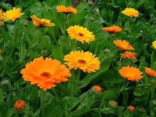 Florile de Galbenele trateaza ulcerul si tulburărilor digestive