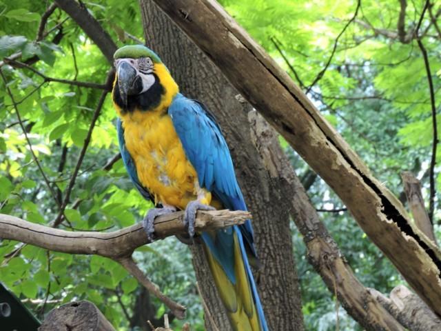 Guacamaya de color amarillo y azul