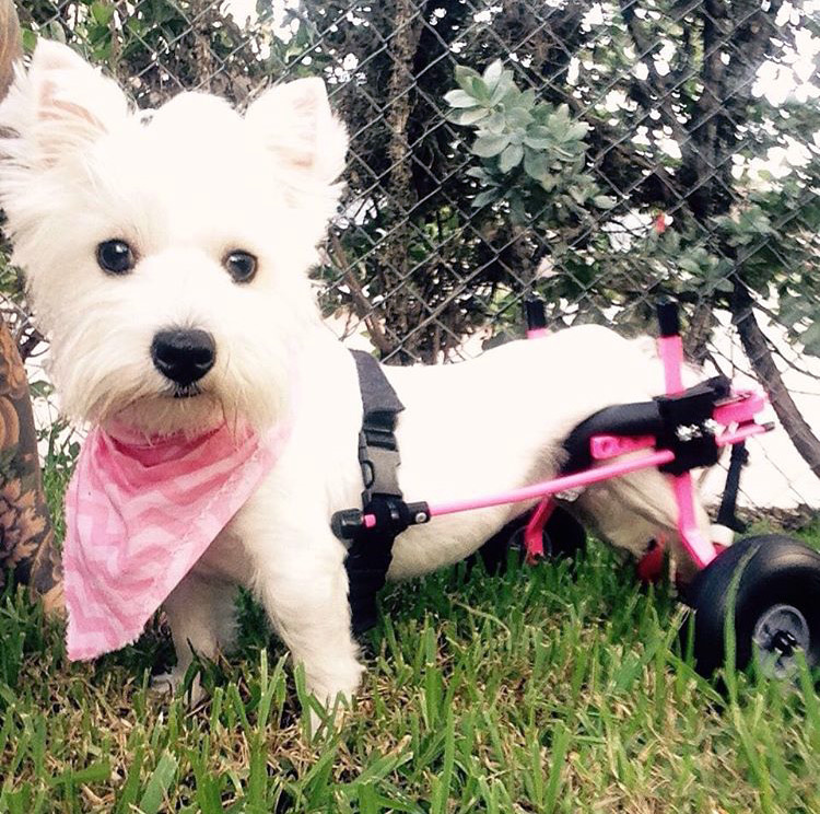 Beautiful paralyzed Westie encourages others to rescue and adopt special needs dogs