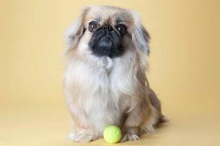 Adestre brincando com seu cão. Durante as brincadeiras você pode ensinar comandos valiosos ao animal. E o melhor é que é sem tédio, gritos ou surras!