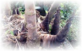 Struktur Teks Laporan hasil pengamatan terdiri dari dua bentuk Teks Laporan Hasil Pengamatan Tumbuhan Bambu