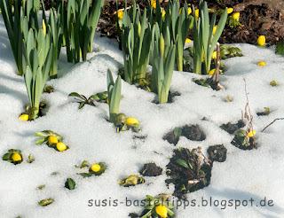 Frühlingsblumen brechen durch die Schneedecke, Foto von Stampin' Up! Demonstratorin in Coburg