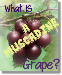 what are muscadine grapes