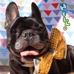 French bulldog ann Sticker01