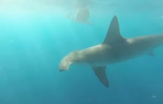 Hammerhead becomes aggressive towards spearfishermen
