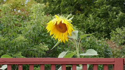 Medicine Hat, Alberta, plants, sunflower, gardening
